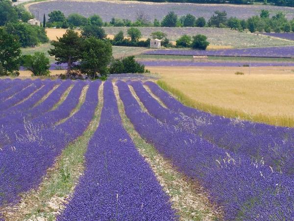 Provence Lavender, France