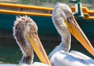 The local pelicans, Kastoria, Greece