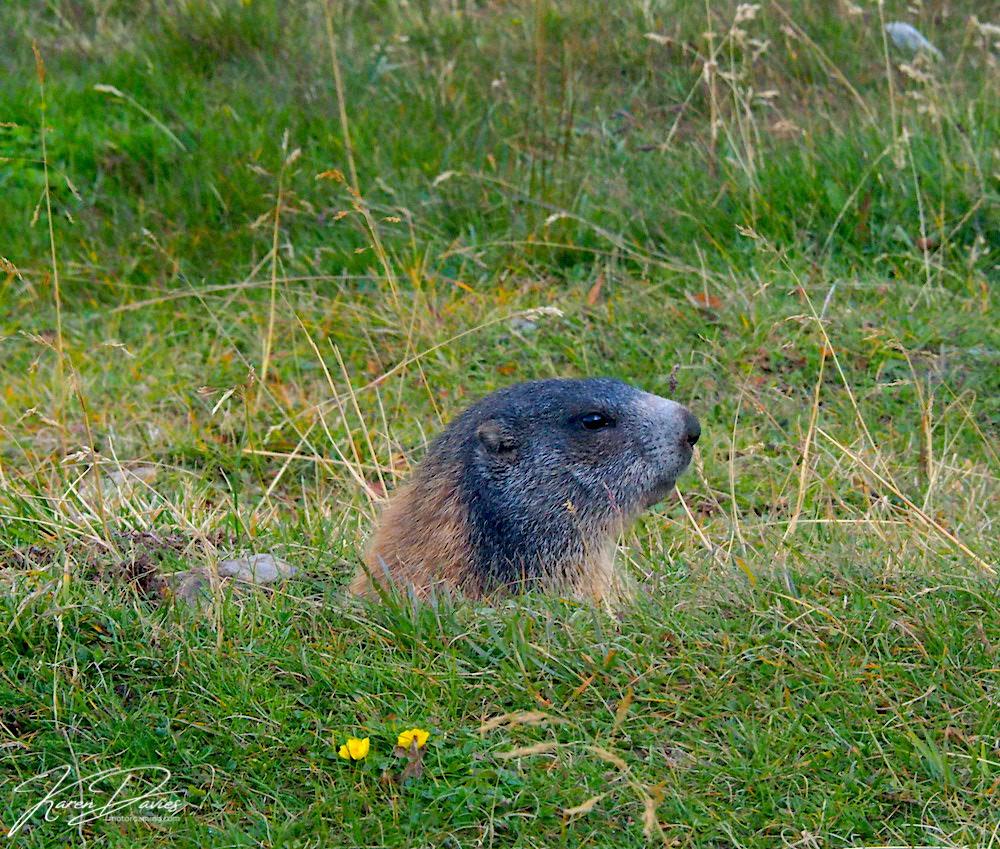 Marmot in Stelvio, Italy