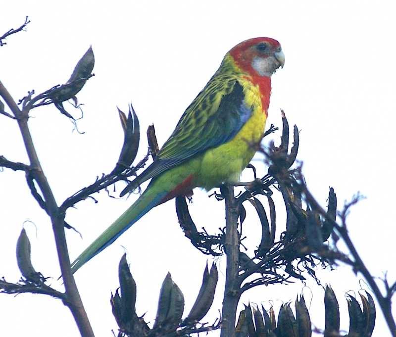 Parrot at Muriwai, New Zealand