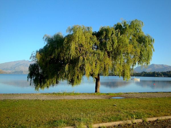 Lake wanaka tree, Wanaker, New Zealand