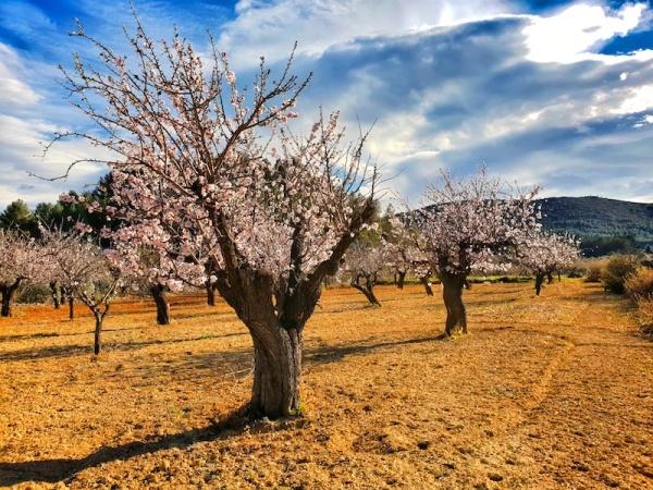 Jalon Almond Tree blossom, Jalon Valley,Spain