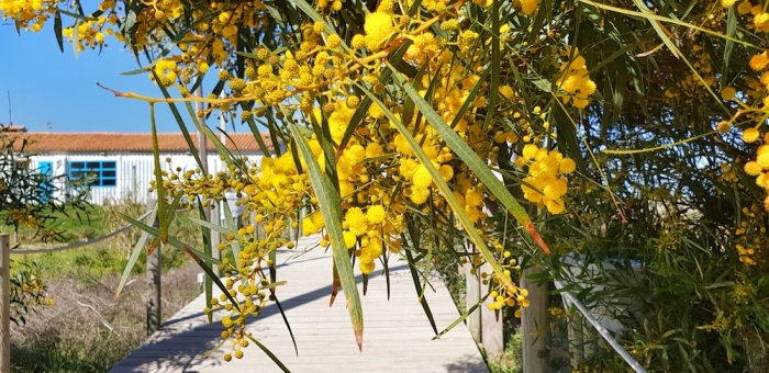 Milfontes nature reserve, mimosa ,Portugal