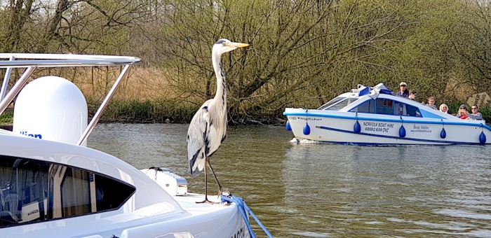 Norfolk Broads tame heron,Norfolk, UK