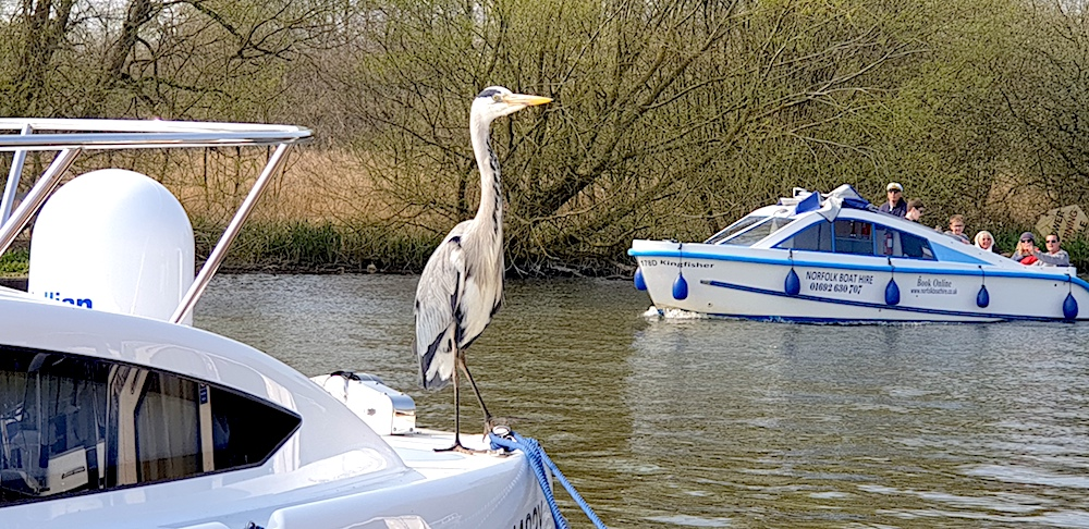 Norfolk Broads tame heron