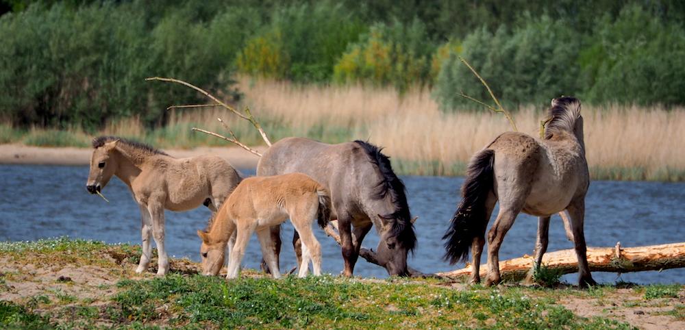 Konik horses at Loevestein