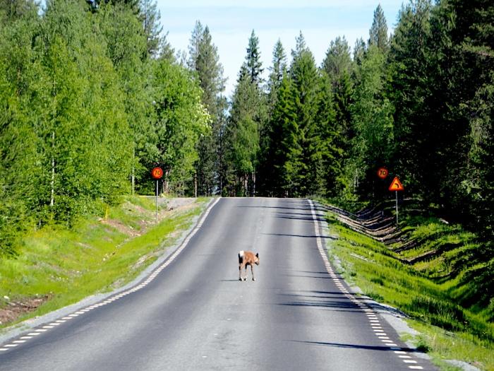 Lapland Reindeer, Sweden