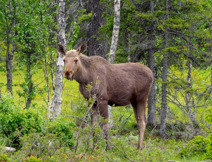 Female moose, Sweden