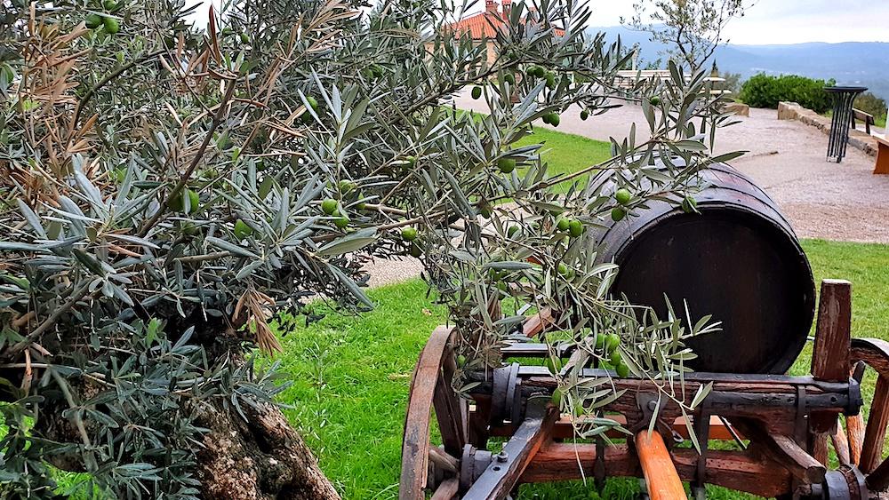 Olive Trees, Slovene Riviera
