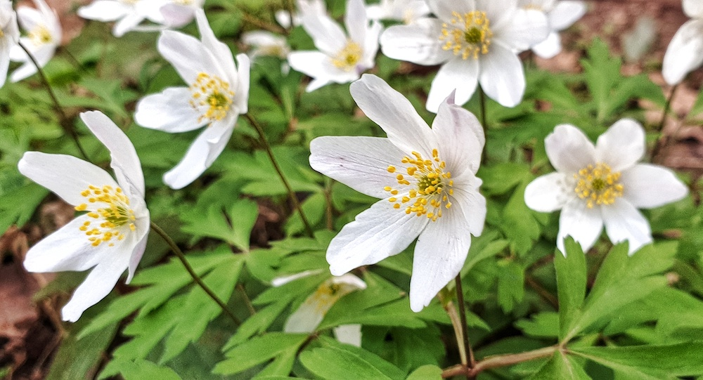 spring anemoies